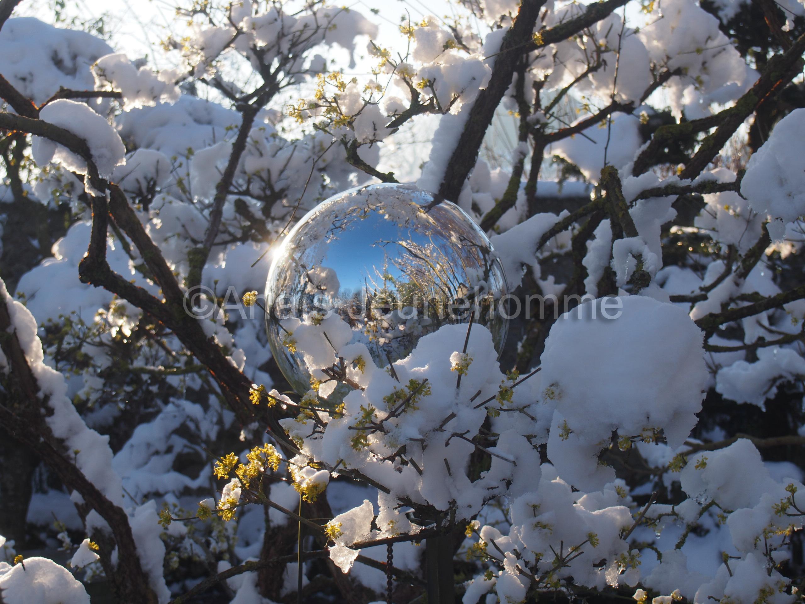 Boule de sorcière et floraison givrée du Cornus mas
